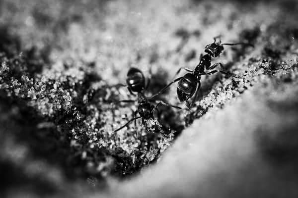 Польза и вред чёрных муравьёв